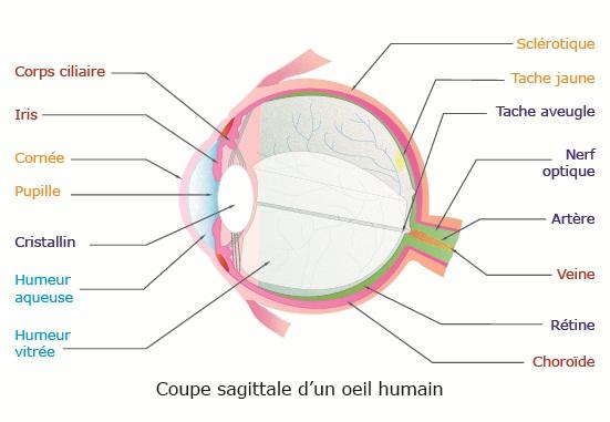 Cours de svt organisation de la r tine - Couche du globe oculaire ...