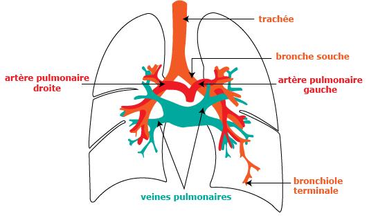 Top Cours de SVT 5e - Observation de l'irrigation sanguine d'un organe  PX39