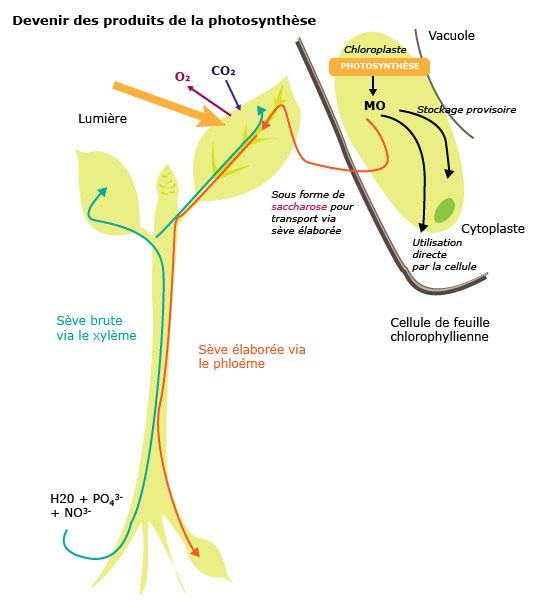 Cours de svt terminale s les surfaces d 39 changes for Vers dans les plantes