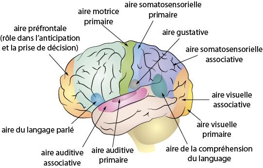 utl conférence cerveau