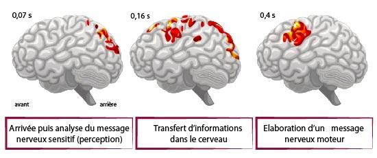 Cours de SVT - Le fonctionnement du cerveau - Maxicours.com